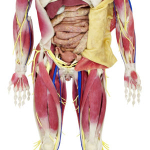 SynDaver Anatomy Model