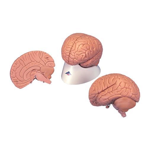 Brain Model, 2 part 3B Smart Anatomy