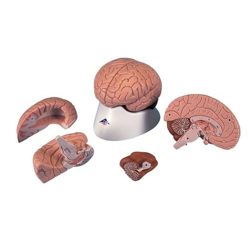 Brain Model, 4 part 3B Smart Anatomy
