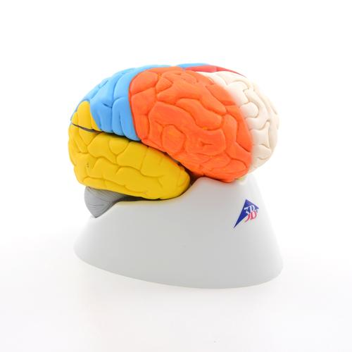 Neuro-Anatomical Brain, 8 part 3B Smart Anatomy