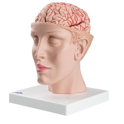 Brain with Arteries on Base of Head, 8 part 3B Smart Anatomy