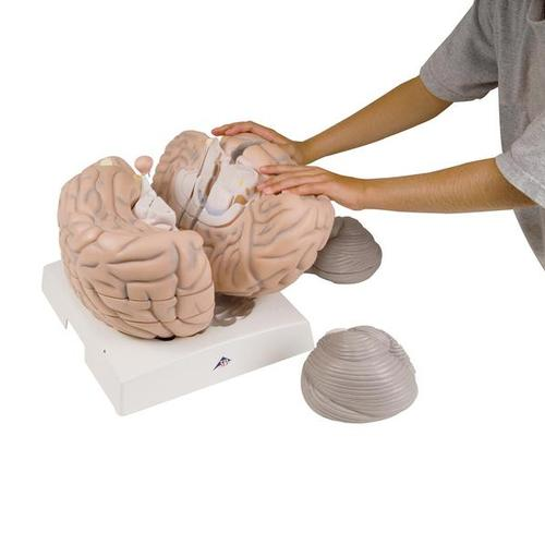 Giant Brain, 2.5 times full-size, 14 part 3B Smart Anatomy