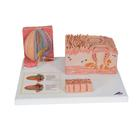 Human Tongue Model  -MICROanatomy  - 3B Smart Anatomy