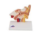 Human Ear Model for Desktop, 1.5 times Life-Size - 3B Smart Anatomy