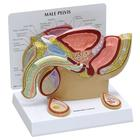 Male Pelvis Model with Testicles