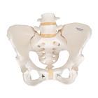 Pelvic Skeleton, female