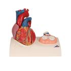 Life-Size Human Heart Model, 5 parts with Representation of Systole - 3B Smart Anatomy
