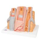 Artery & Vein Model, 14 times Enlarged - MICROanatomy Series - 3B Smart Anatomy