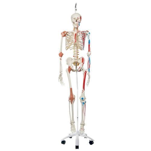 Skeleton Model with Muscles and Ligaments - Sam - Hanging Stand