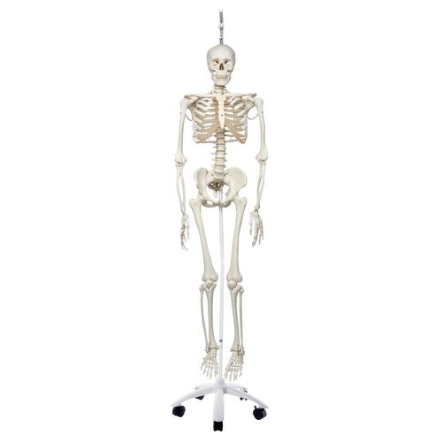 Physiological Skeleton Model  - Functional - Frank - Hanging Stand