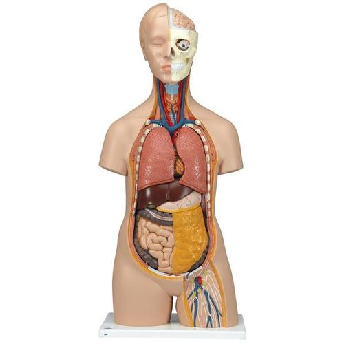 Unisex Human Torso Model, 12 part - Classic  - 3B Smart Anatomy