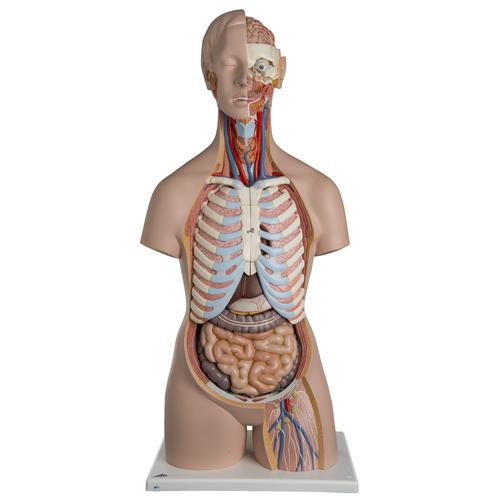 Unisex Human Torso Model with Open Back, 21 part - Classic  - 3B Smart Anatomy