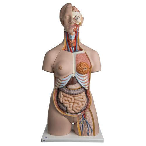 Dual Sex Human Torso Model, 24 part - Deluxe - 3B Smart Anatomy