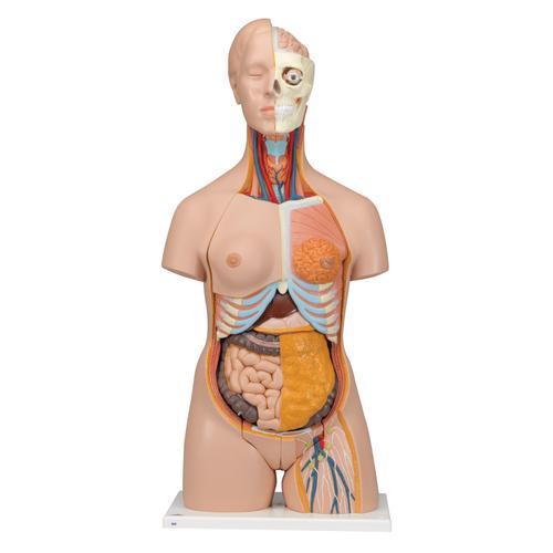 Dual Sex Human Torso Model, 20 part - Deluxe  - 3B Smart Anatomy