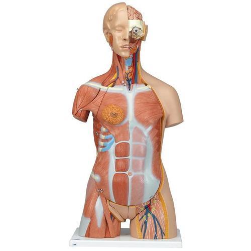 Dual Sex Human Muscle Torso Model, 31 part - Deluxe  - 3B Smart Anatomy