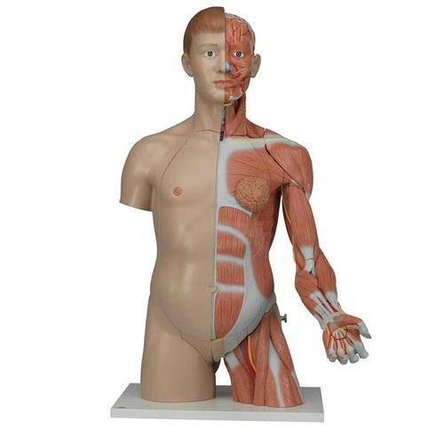 Dual Sex Human Torso Model with Muscle Arm, 33 part - 3Life-Size  - B Smart Anatomy
