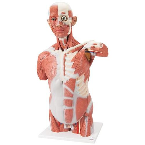 Muscle Torso Model, 27 part - Life size