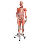 3/4 Life-Size Dual Sex Muscle Model on a metal stand with 5 casters, 45-part