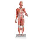 1/2 Life-Size Complete Dual Sex Muscle Model, 33-part