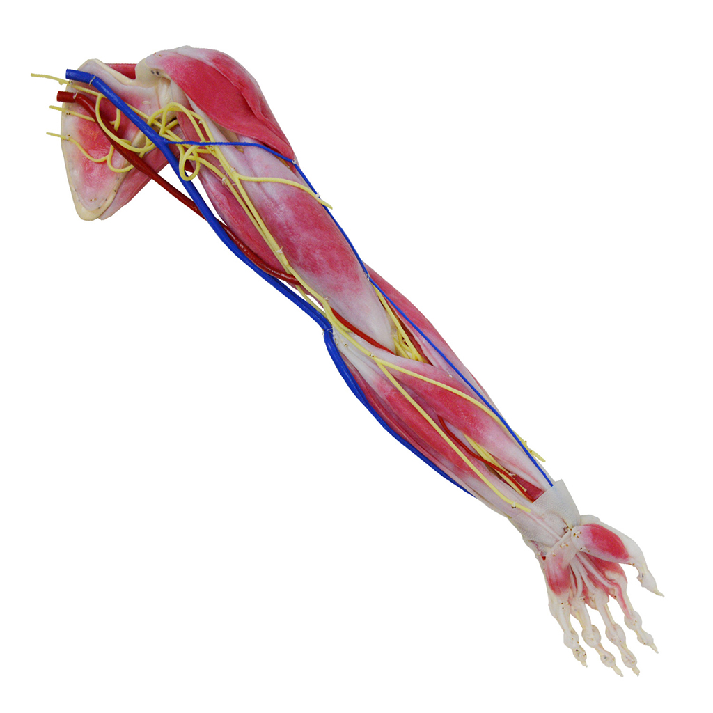 SynTissue  Arm_1