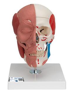 skull muscle_2